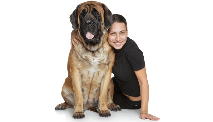 English mastiff and smiling owner