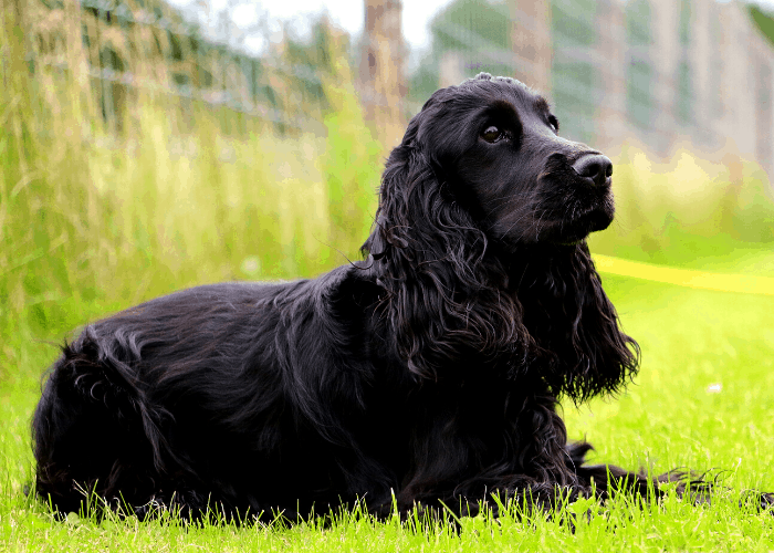 Field Spaniel sitting on the lawn