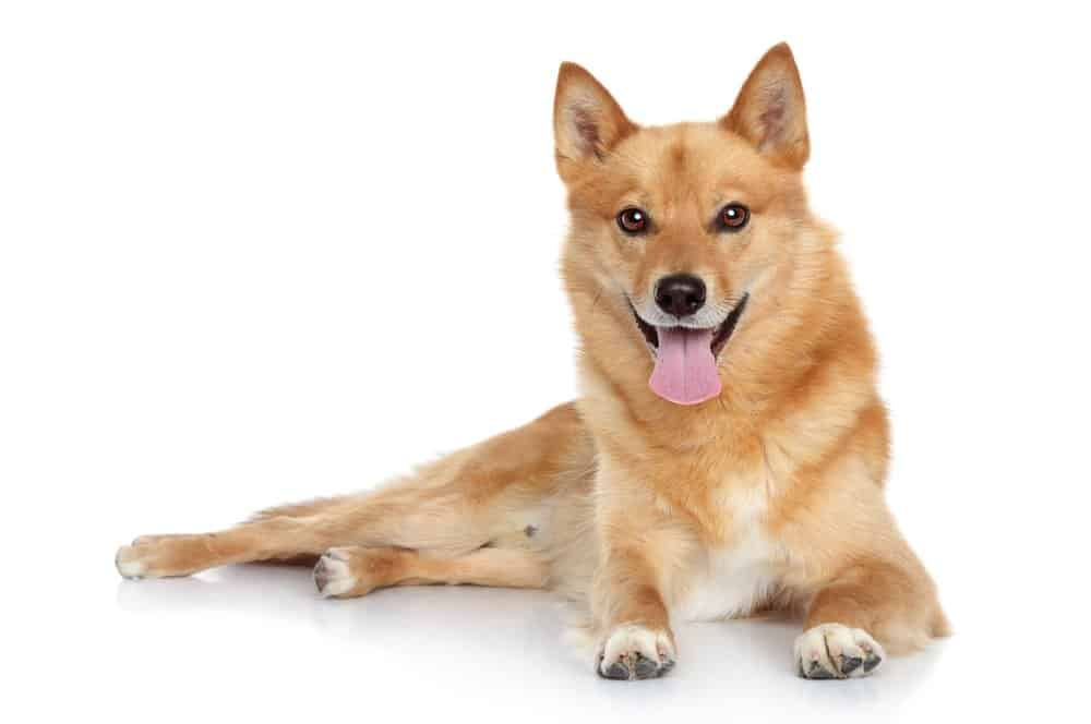 Finnish spitz photographed on white background