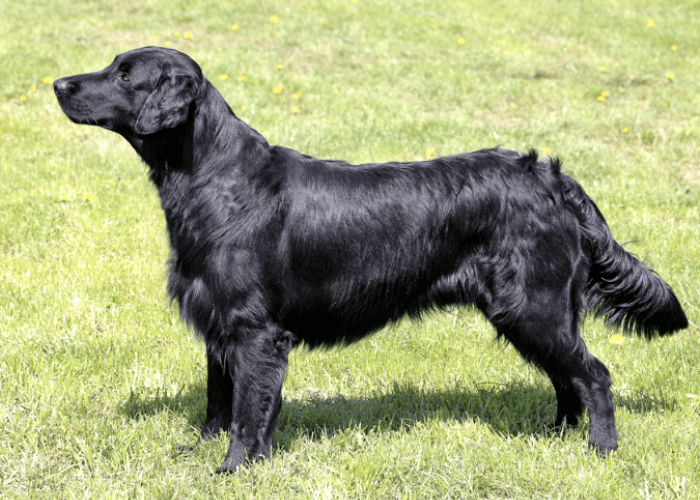 Flat-coated Retriever standing on the lawn