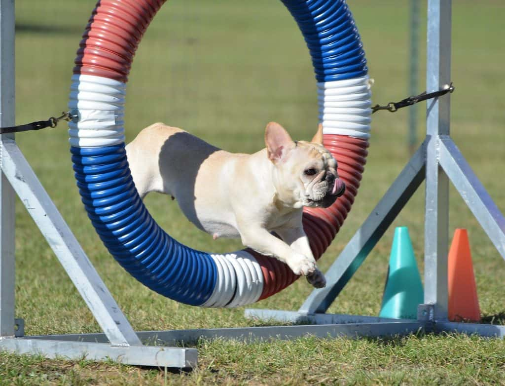 French Bulldog agility training