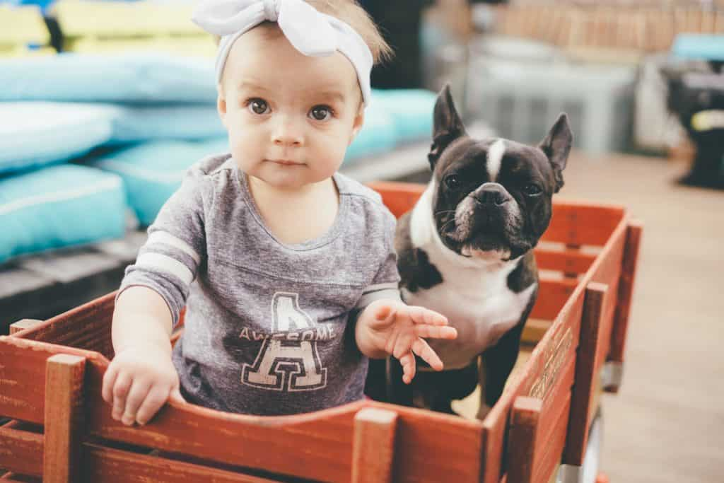 French Bulldog with a young girl in a trolley
