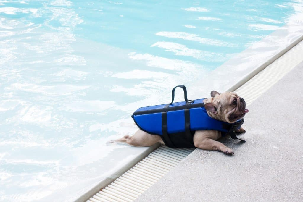 French bulldog at a swimming pool