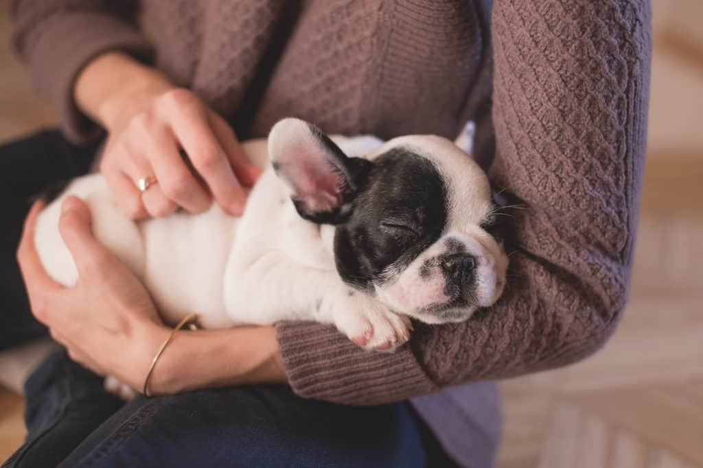 French bulldog being cuddled by owner