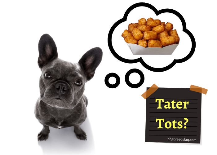 French bulldog looking and thinking of eating tater tots
