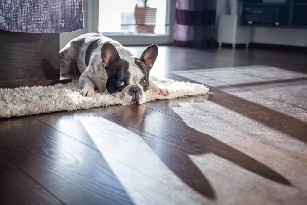 French bulldog lying on the carpet