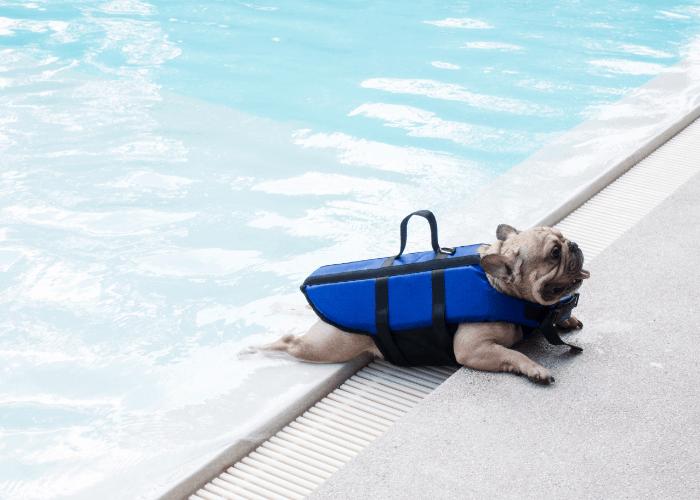 French bulldog swimming in the pool with life jacket