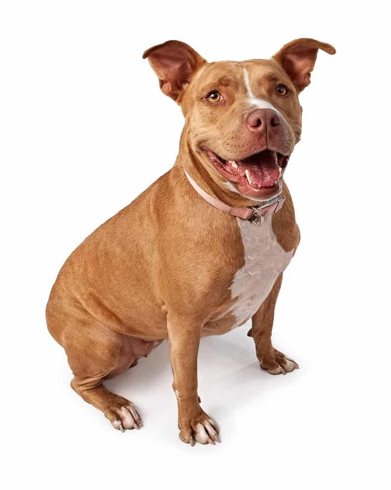 Friendly pit bull sitting on a white background