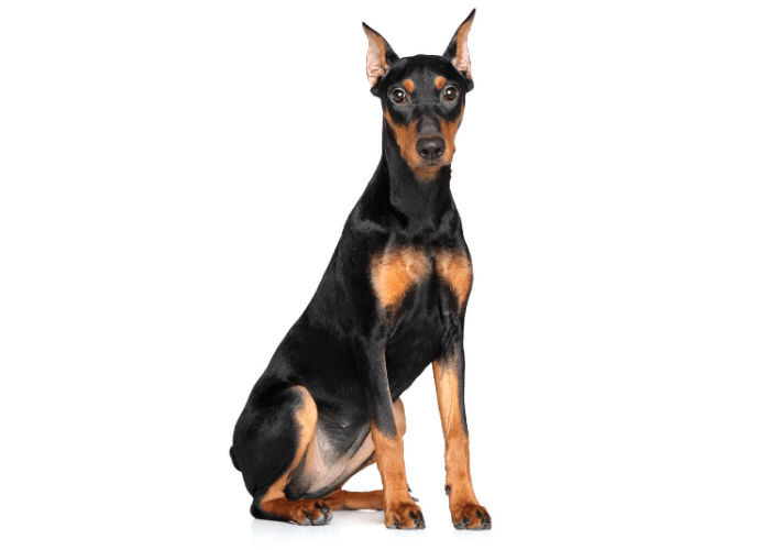 German Pinscher sitting on a white background