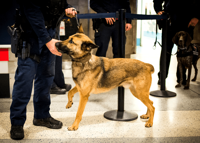 German Shepherd with the police at the airport