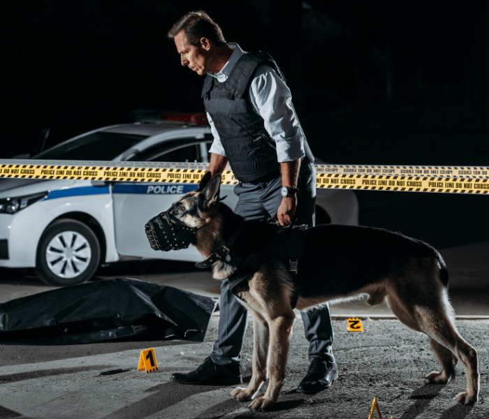 German shepherd being used in a crime scene