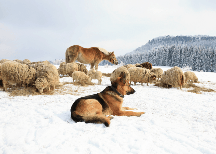 German shepherd guarding livestocks