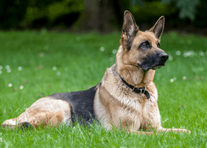 German shepherd lying on the lawn