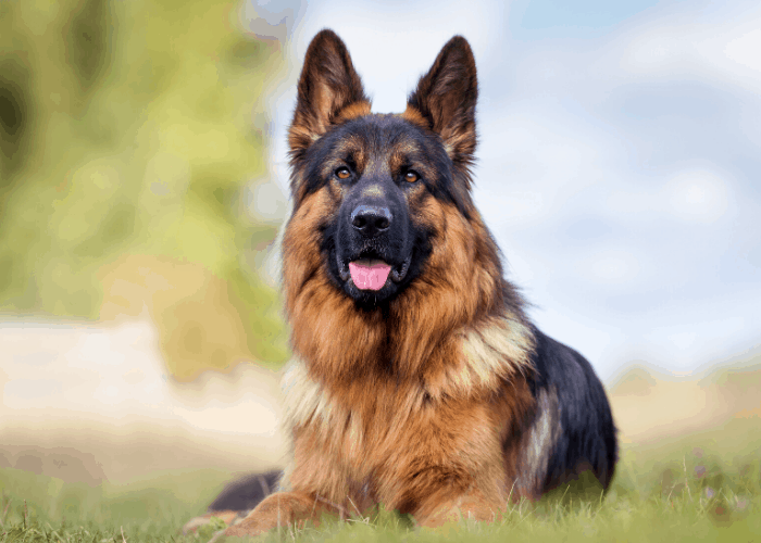 German shepherd resting on the lawn at the park