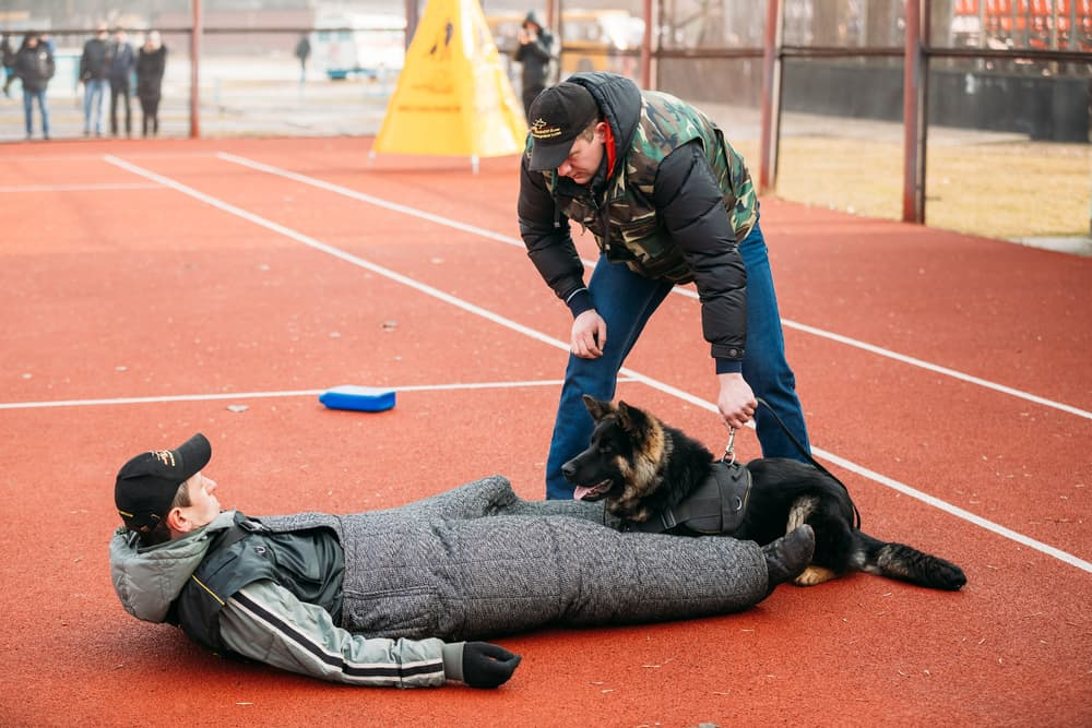 German shepherd takedown training
