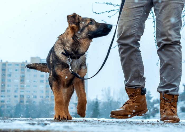 German shepherd taking a walk with owner during winter
