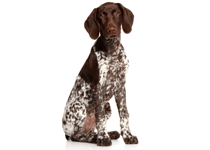 German shorthaired pointer sitting on white background