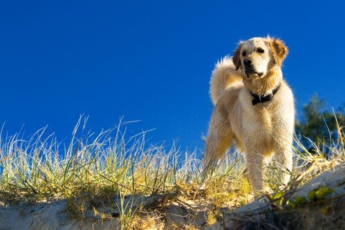 Golden Retriever in the beach grass