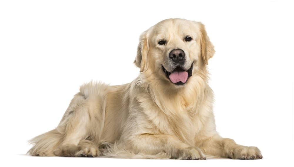 Golden Retriever photo taken on white background