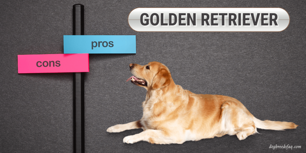 Golden Retriever pros and cons featured image