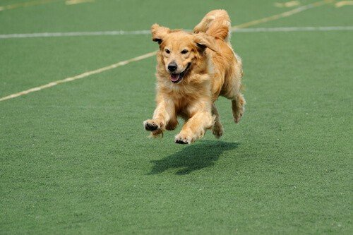 Golden retriever dog running on a green surface