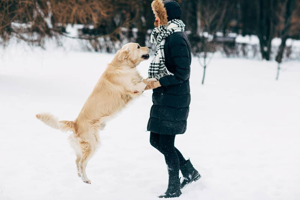 Golden retriever jumping to its owner in winter