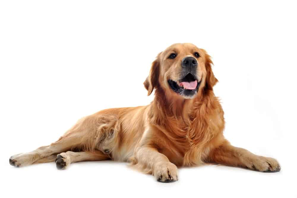Golden retriever lying on white background