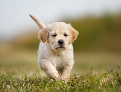 Golden retriever puppy running towards the camera