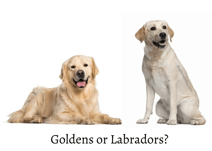 Golden retriever vs Labrador retriever differences image