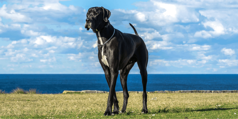 Great Dane image outdoors