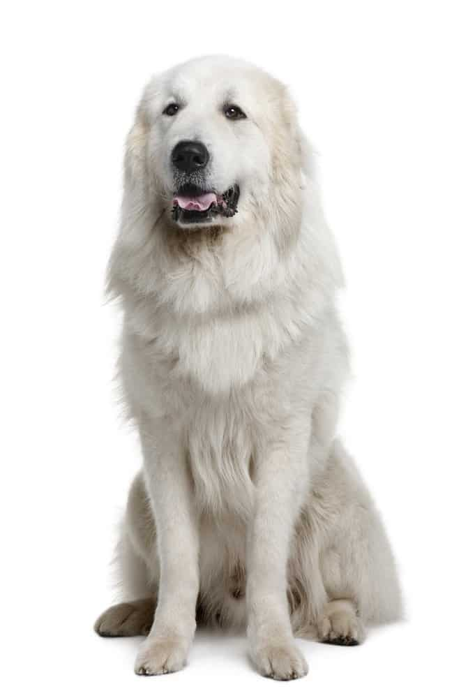 Great Pyrenees photographed against a white background