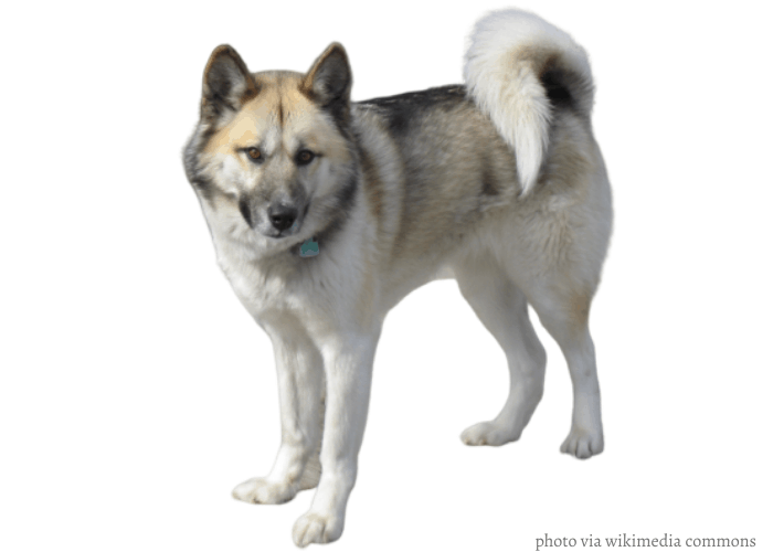 Greenland dog in front of white background