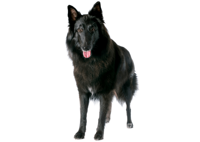 Groenendael dog photographed against a white background