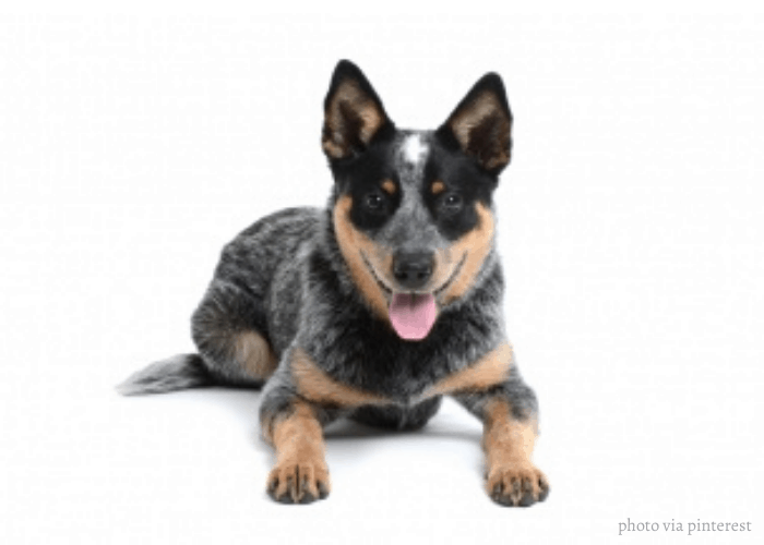 Halls Heeler sitting in front of white background