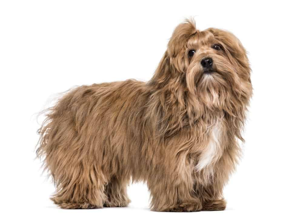 Havanese dog photographed against a white background