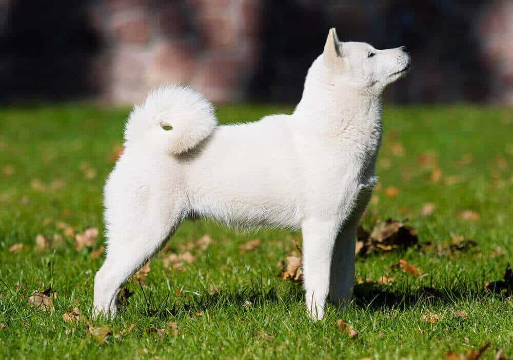 Hokkaido dog breed on the grass