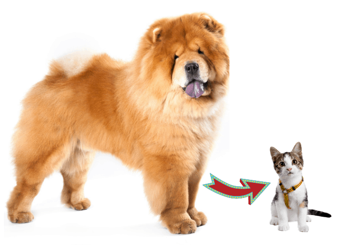 How to Introduce a Chow Chow to a Resident Cat image