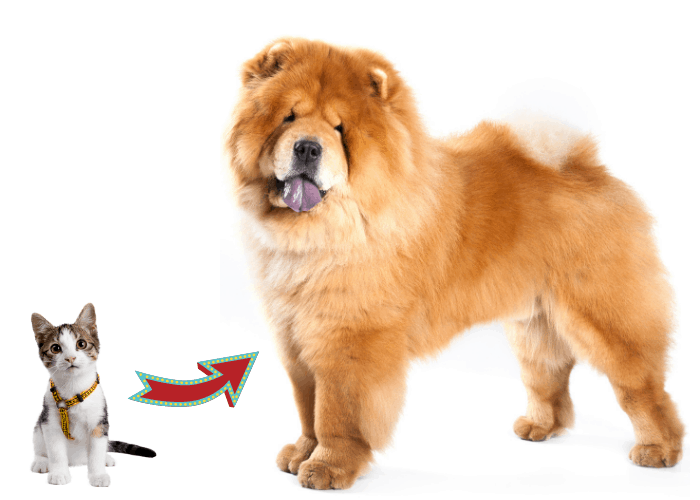 How to Introduce a cat to a Resident Chow Chow image