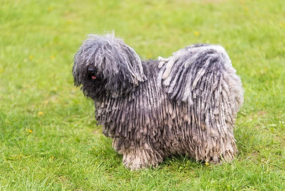 Hungarina Puli Dog standing on the lawn