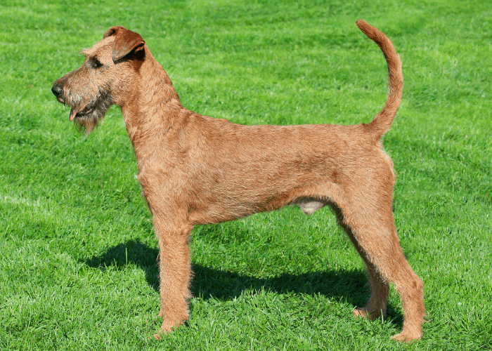 Irish Red Terrier standing on the lawn side view