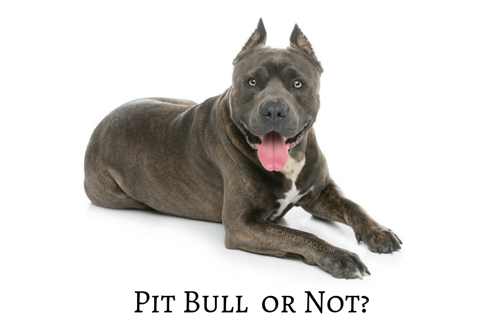 Is the American Staffordshire Terrier a Pit Bull Image