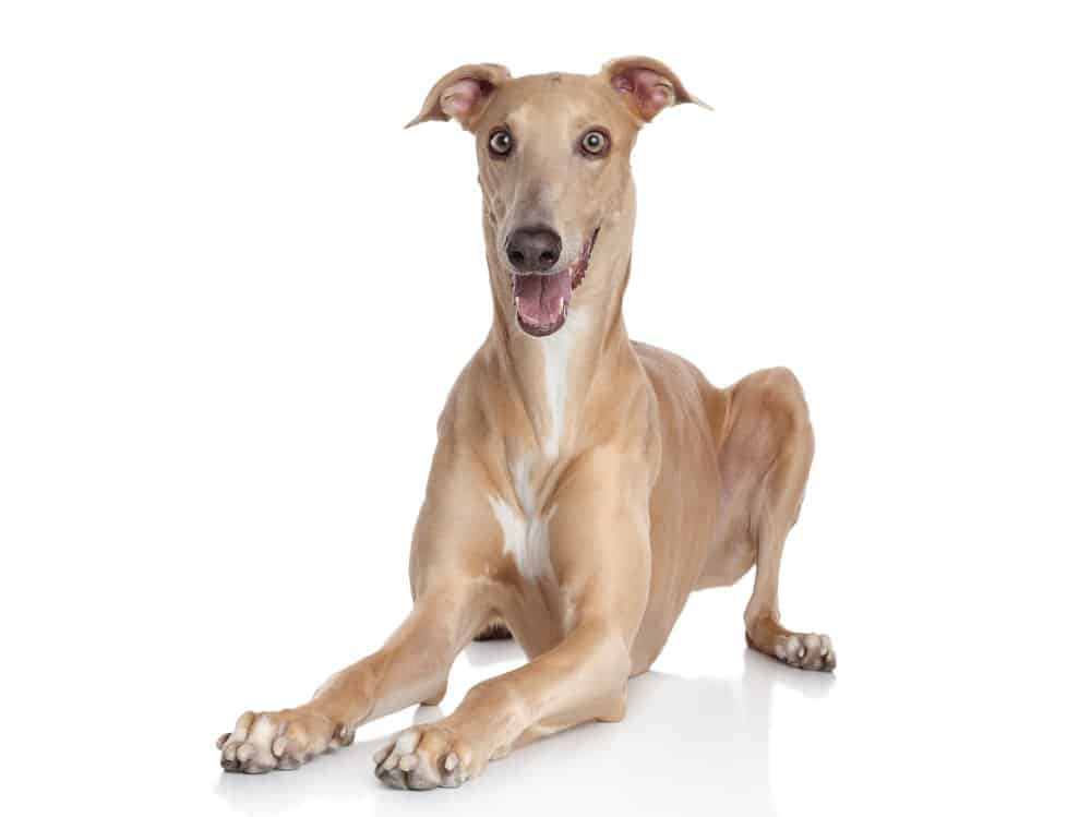 Italian Greyhound lying on white background