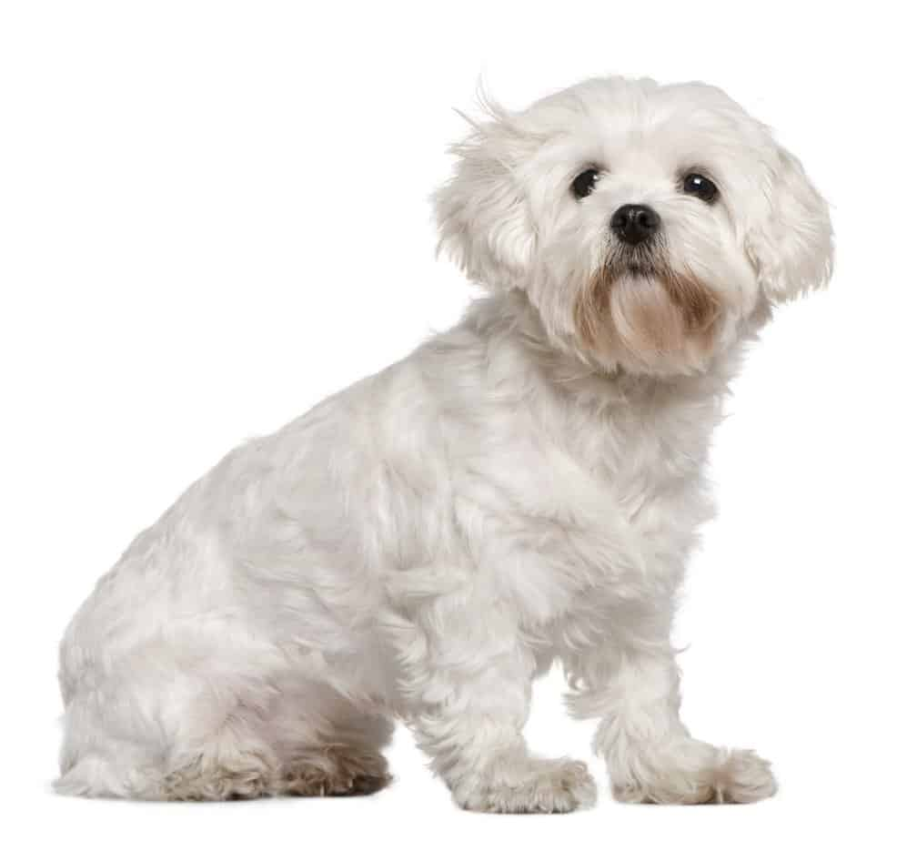 Italian Maltese sitting in front of white background