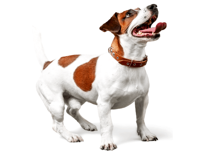 Jack Russell Terrier photographed on a white background