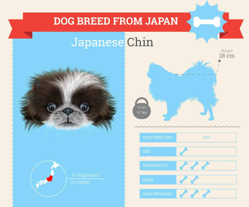 Japanese Chin dog Infographic
