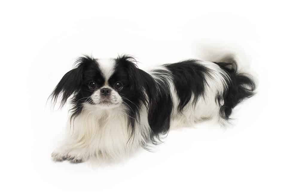 Japanese Chin dog on white background