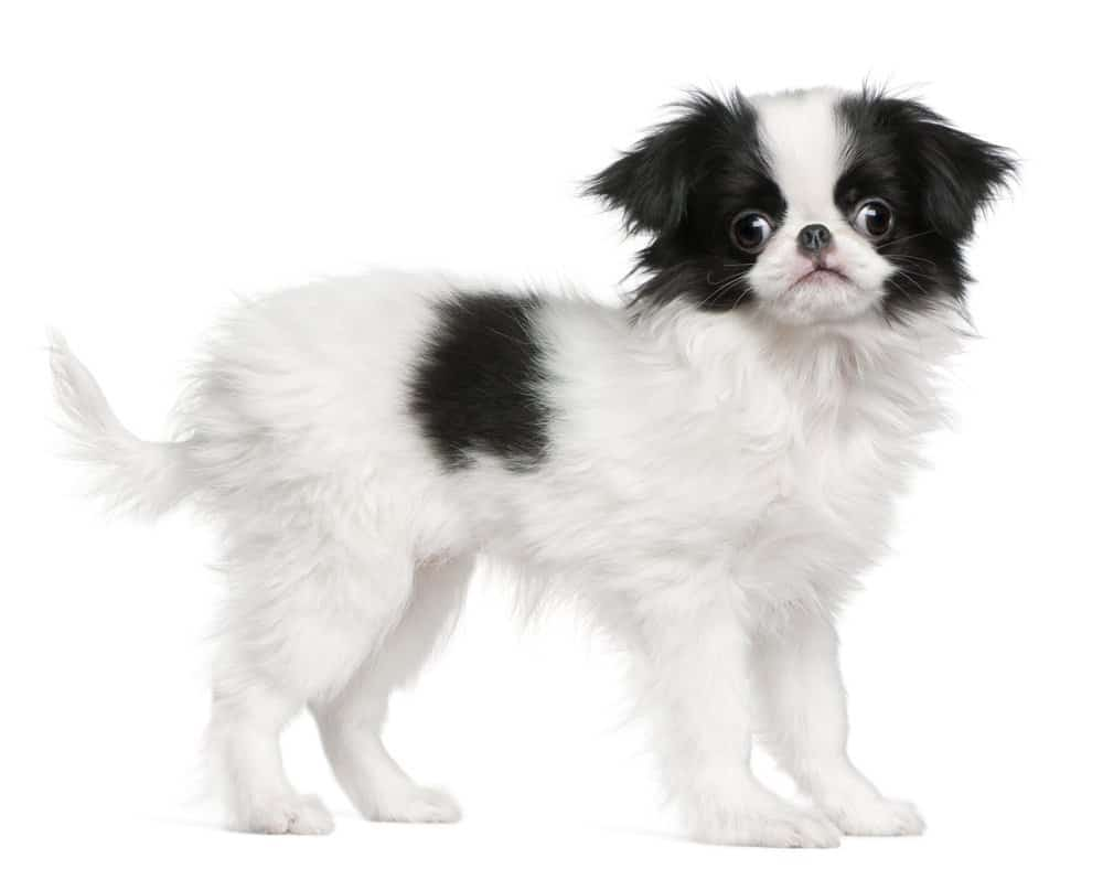 Japanese Chin standing on white background