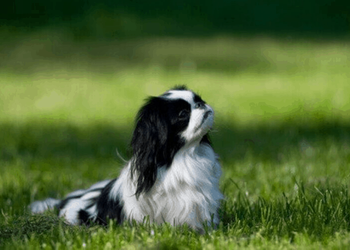 Japanese chin dog sitting on the lawn