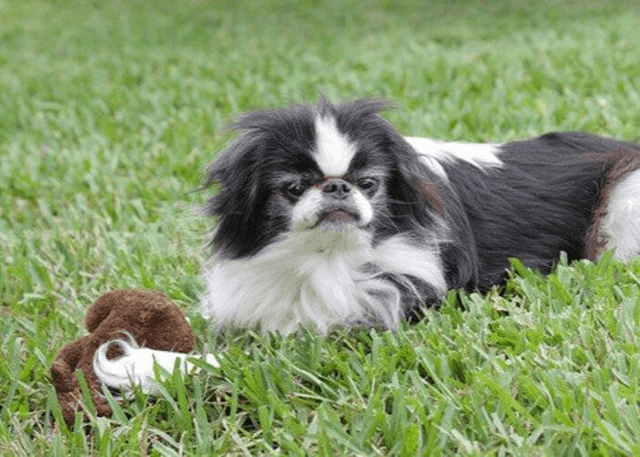 Japanese chin playing a chew toy on the lawn