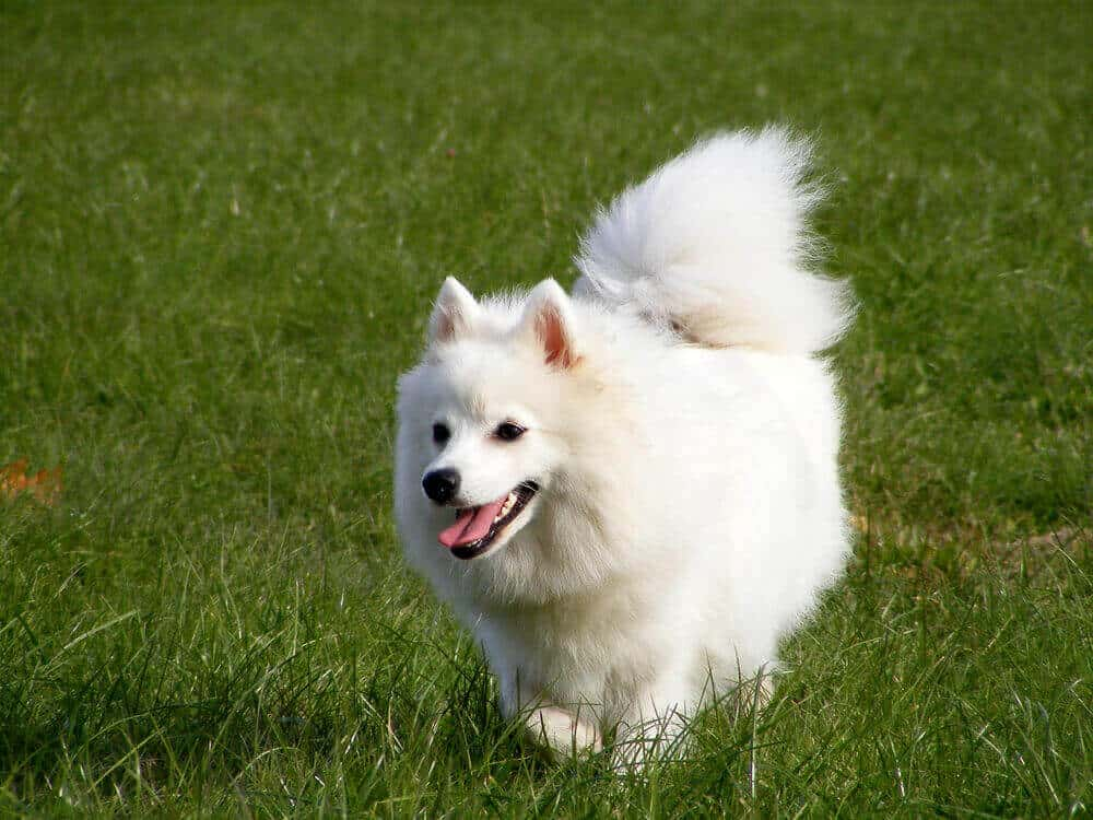 Japanese spitz running in the grassy park